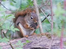 Beautiful Squirrel stock photography