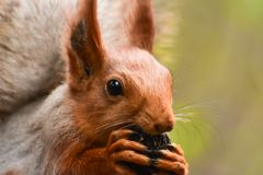 A beautiful squirrel gnawing a nut and sitting on a tree branch in a spring forest. Close-up version of a rodent Royalty Free Stock Photo