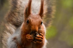A beautiful squirrel gnawing a nut and sitting on a tree branch in a spring forest. Close-up version of a rodent Stock Images