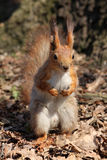 Beautiful squirrel in a leafs. Small beautiful squirrel in a city park Stock Images