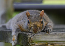Beautiful squirrel lying down in a park Royalty Free Stock Photo