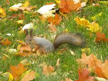 Squirrel in the autumn park among the foliage stock photography