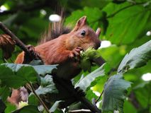 Squirrel in the Park. Beautiful squirrel in a Park in Moscow in Russia stock photo