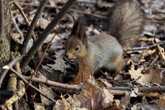 Squirrel in the Park. Beautiful squirrel in a Park in Moscow in Russia stock images