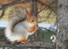 Beautiful squirrel eats a nut. Royalty Free Stock Photo