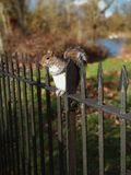 Beautiful squirrel sitting on the fence in the Hyde Park stock photo