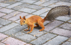 Beautiful squirrel Royalty Free Stock Photography