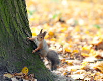 The beautiful squirrel on a tree Royalty Free Stock Image
