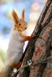 Beautiful squirrel on a tree. Photographed close-up Royalty Free Stock Image