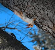 Beautiful squirrel on a tree. Photographed close-up Stock Photos