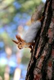 Beautiful squirrel on a tree. Photographed close-up Royalty Free Stock Images