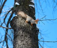 Beautiful squirrel on a tree. Photographed close-up Stock Images