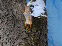 Beautiful squirrel on a tree. Photographed close-up Royalty Free Stock Photography