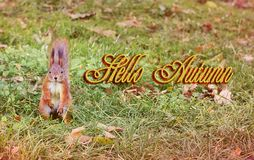 Beautiful squirrel in the yellow leaves. Red squirrel. Beautiful autumn. Hello winter. Spring royalty free stock photos