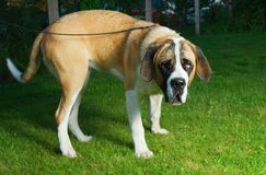 Beautiful St. Bernard dog Stock Photos