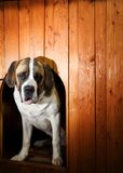 Beautiful St. Bernard dog Royalty Free Stock Photos