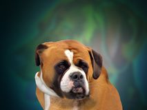 Petting Love in Life. This is a beautiful St.Bernard dog that shows such beauty that life has out there with a sweet loving face royalty free stock photography