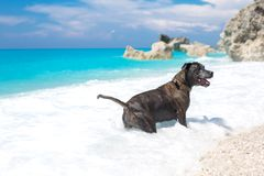 Beautiful stafford dog playing in the ocean royalty free stock photo