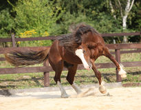Beautiful stalion with long mane jumping Stock Photos