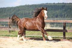 Beautiful stalion with long mane running Royalty Free Stock Images