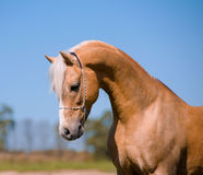 Beautiful stallion Royalty Free Stock Photo