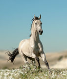Beautiful stallion in flower field Stock Image