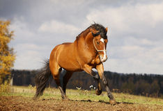 Beautiful stallion galloping. On autumn field Stock Photos