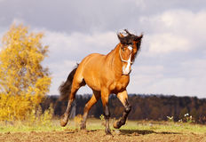 Beautiful stallion galloping. In autumn field Royalty Free Stock Photo