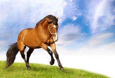 Beautiful stallion galloping. A beautiful stallion galloping on field Stock Images