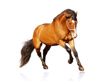 Beautiful stallion galloping. On white Stock Image