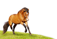 Beautiful stallion galloping. On white Royalty Free Stock Photos