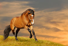 Beautiful stallion galloping. In sunset Stock Image