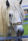 Beautiful stallion gray suit breed Percheron Royalty Free Stock Photography