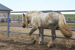 Beautiful stallion gray suit breed Percheron Stock Photos
