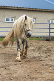 Beautiful stallion gray suit breed Percheron Stock Photo