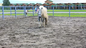 Beautiful stallion gray suit breed Percheron. Beautiful young stallion gray suit breed Percheron stock video footage