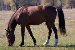 Beautiful stallion Stock Images