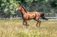 Beautiful stallion in motion on the meadow