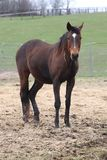 Beautiful standardbred mare stock photos
