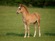 Beautiful Standing Foal Royalty Free Stock Photos