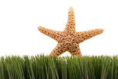 Beautiful starfish on green grass isolated on white background Royalty Free Stock Photography