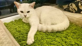 A beautiful staring white cat. A beautiful curious white cat in a pet cafe is staring at the camera Stock Images