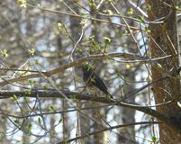 Little brown starling bird on tree branch, Lithuania stock images
