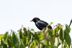 Starling on a cherry tree branch. Beautiful starling sitting on a branch in a cherry tree with ripe berries stock images