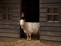Beautiful stately goat stands in farmers barn Stock Photo