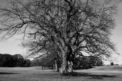 Beautiful Stately Tree Stock Images