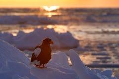 Beautiful Steller`s sea eagle, Haliaeetus pelagicus, morning sunrise, Hokkaido, Japan. Eagle floating in sea on ice. Wildlife beh. Aviour Stock Photo