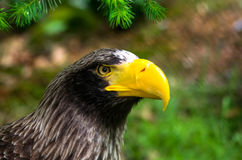 Beautiful Steller& x27;s sea eagle portrait royalty free stock photos