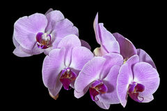 Beautiful Stem of Flowers on Phalaenopsis Orchid Royalty Free Stock Photo