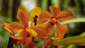 Blooming twig of tiger orchid. Beautiful stem of vibrant tiger colored orchid flowers stock video footage